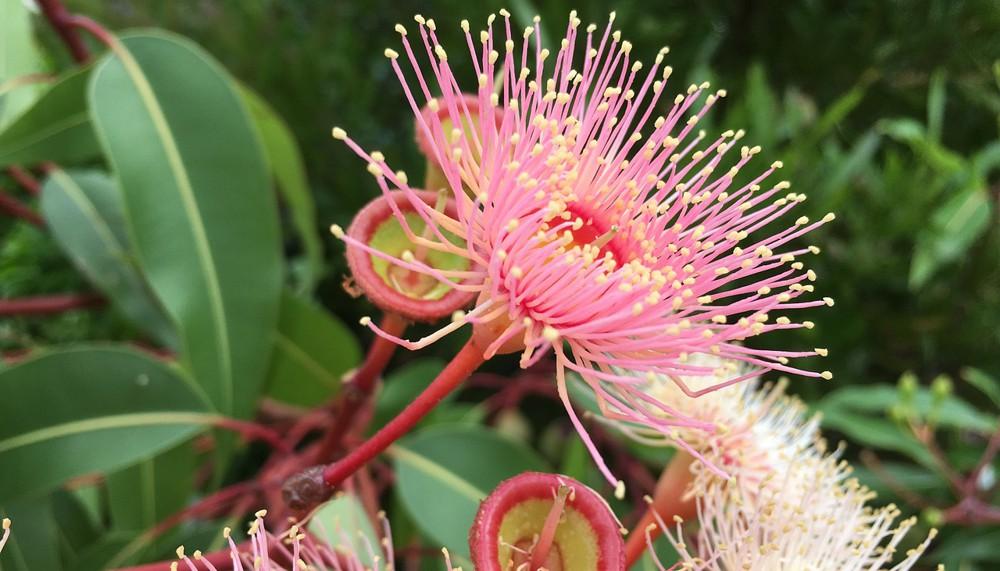 Kwiaty eukaliptusa